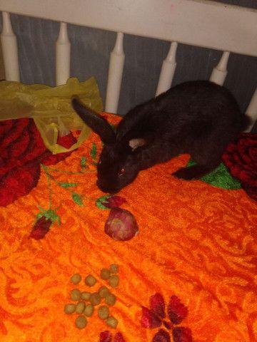 Vendo coelho filhote super dócil - Foto 5