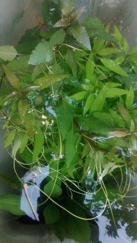 Plantas aquáticas para aquário  - Foto 6