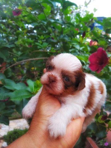 Filhote Shih Tzu Macho a venda - com pedigree 10x sem juros - contrato - Foto 2