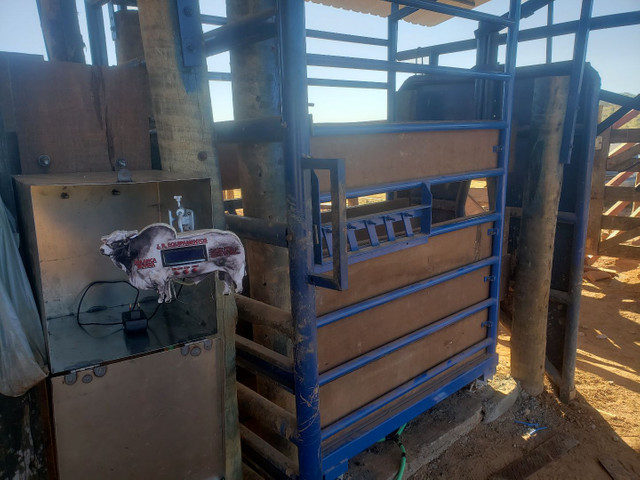 Balança de gado bovina  - Foto 3