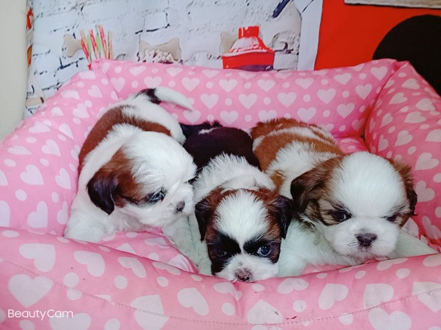 Filhotes de Pug e Shih Tzu - Foto 6