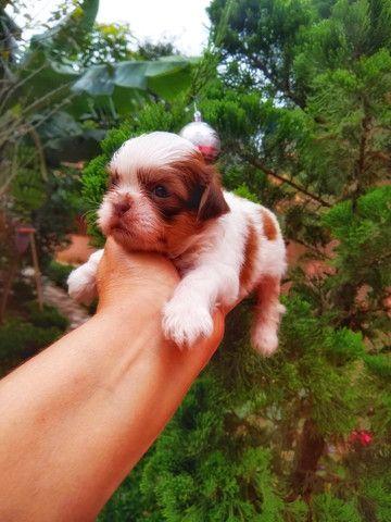 Filhote Shih Tzu Macho a venda - com pedigree 10x sem juros - contrato
