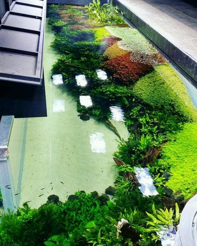 Plantas aquáticas para aquário  - Foto 3