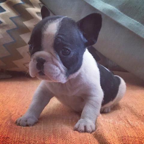 Bulldog frances top