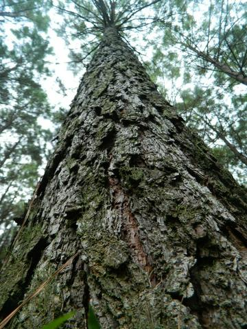 Floresta de Pinus - Foto 2