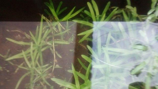 Plantas aquáticas para aquário  - Foto 4