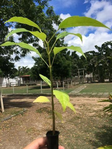 Mudas Nativas para Reflorestamento - Foto 6