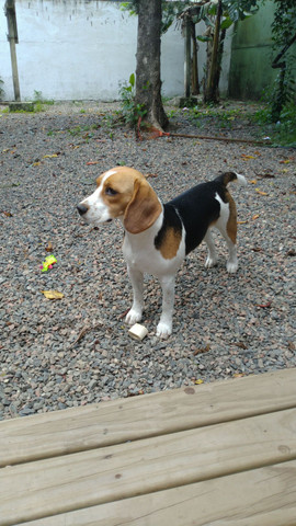 Beagle 1 ano - Foto 2