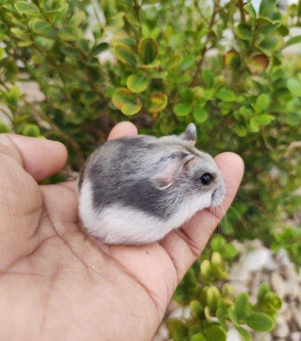 Hamster Anões Russos - Foto 4