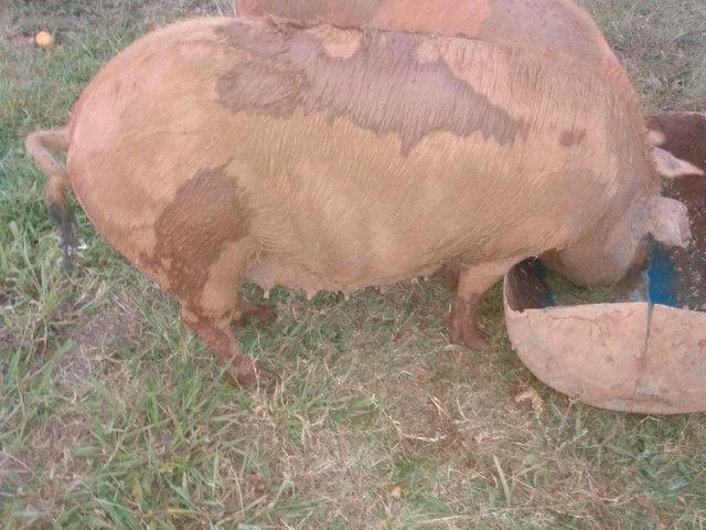 Porcos - Foto 5