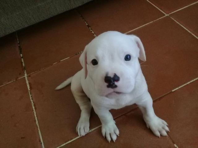 Vendo Filhotes De Bulldog Americano Cachorros Jardim Carioca