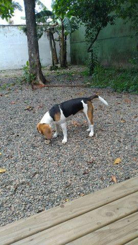 Beagle 1 ano - Foto 3