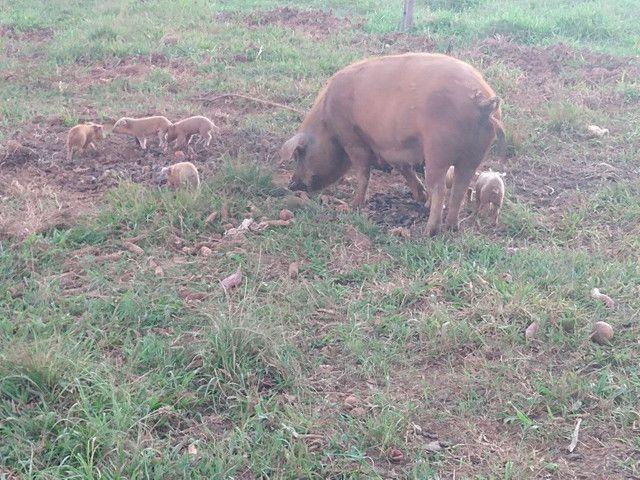Porcos - Foto 2