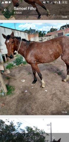 Égua mestiça paulista  - Foto 4