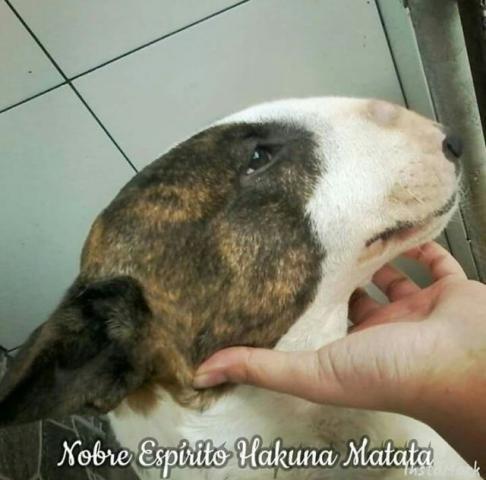 Filhotes Bull Terrier - Linhagem Importada - Cbkc