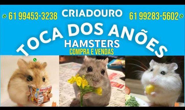 Hamster Anões Russos