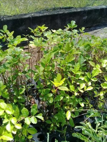 Mudas Nativas para Reflorestamento - Foto 2