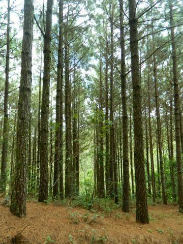 Floresta de Pinus - Foto 15