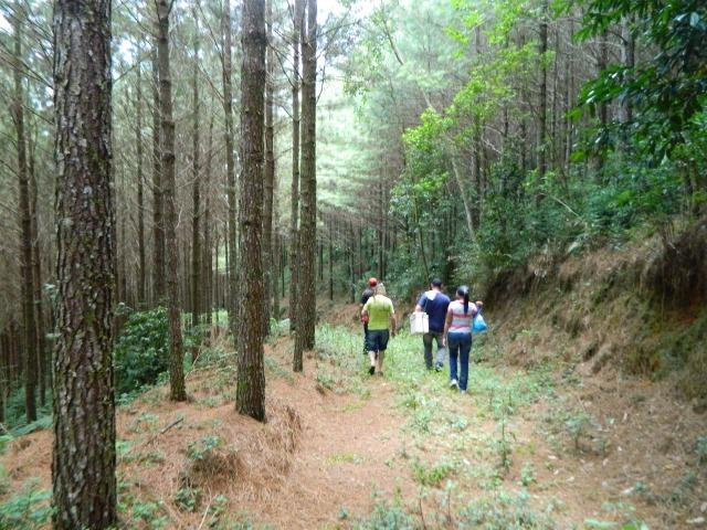 Floresta de Pinus - Foto 10