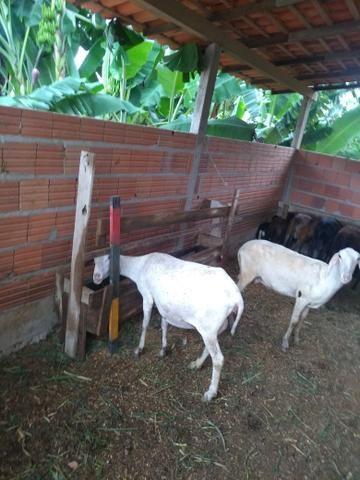Ovelhas e carneiros - Foto 5
