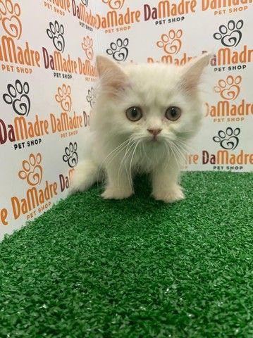 lindos gatos persa no da madre pet shop para o dia das Mães em 10x sem juros!! - Foto 2