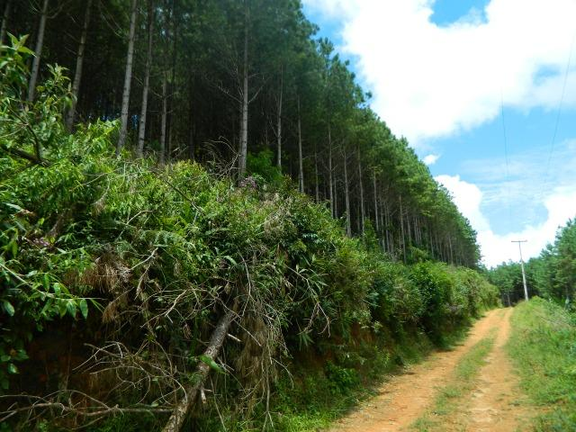 Floresta de Pinus - Foto 12