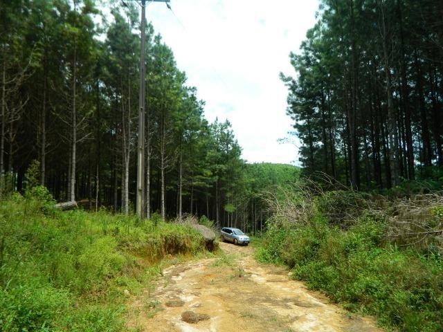 Floresta de Pinus - Foto 3