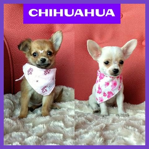Lindas Fêmeas de Chihuahua - Microchipada - Parcelado 12x