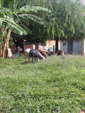Ovelhas e carneiros - Foto 6
