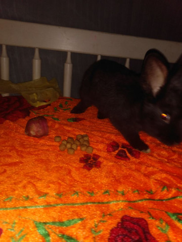 Vendo coelho filhote super dócil - Foto 3