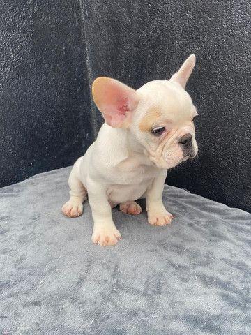 Bulldog frances macho branco - Foto 2