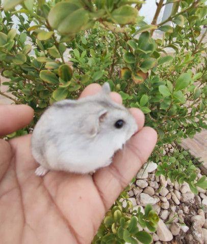 Hamster Anões Russos - Foto 5