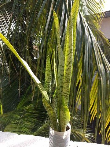 Planta Ornamental - Foto 2