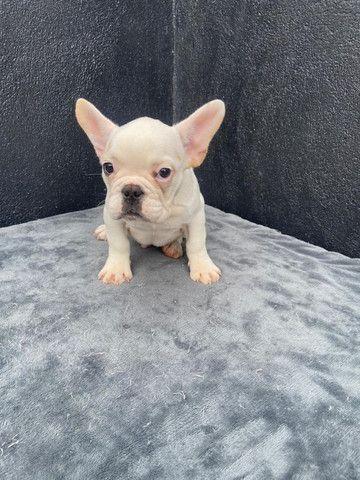Bulldog frances macho branco - Foto 5