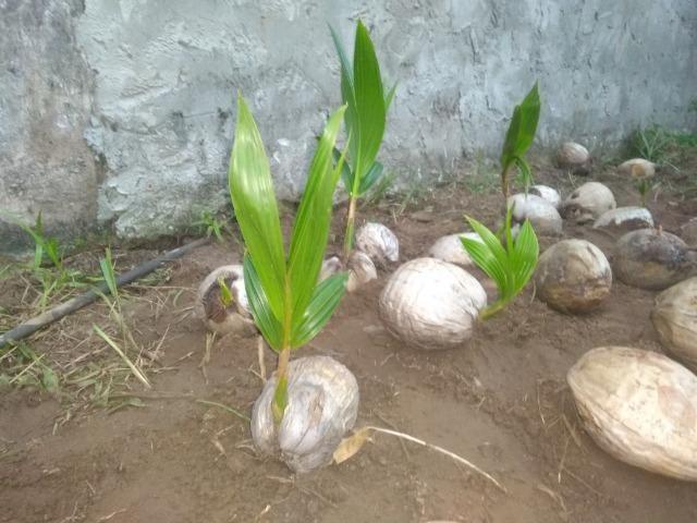 Muda de coco anão - Foto 4