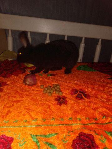 Vendo coelho filhote super dócil - Foto 4