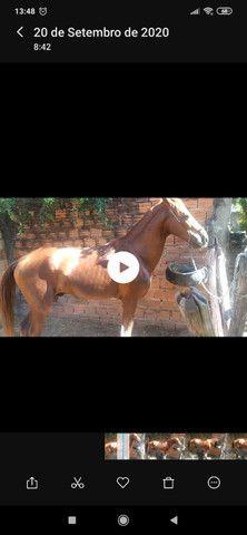 Cavalo mestiço(mangalarga com comum), marchador - Foto 2