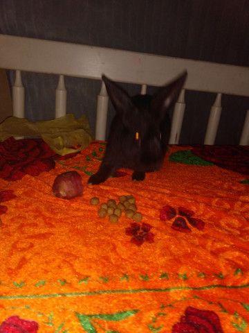 Vendo coelho filhote super dócil