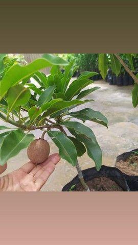 Mudas frutiferas enxertadas direto do produtor