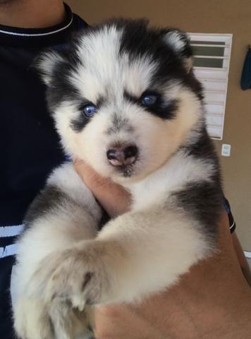 Husky Siberiano Wooly