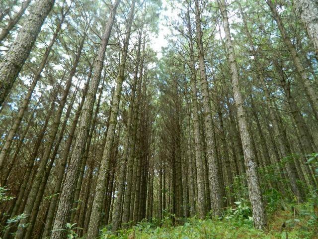 Floresta de Pinus - Foto 9