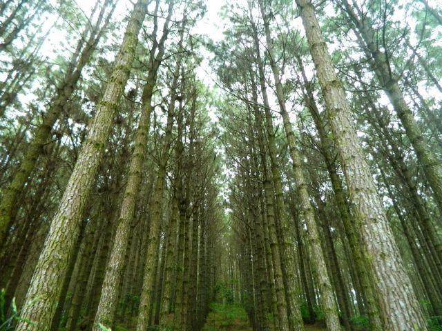 Floresta de Pinus - Foto 8