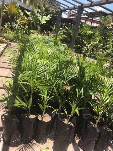 Palmeira bambu