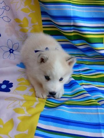 Husky siberiano macho e fêmea maiores informações no whatsaap - Foto 6