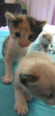 Gatos siameses - Foto 6