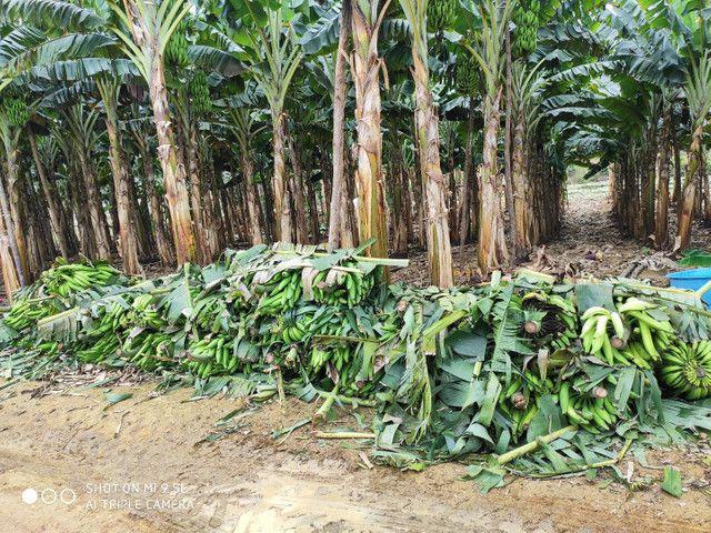 Mudas de banana da terra - Foto 6
