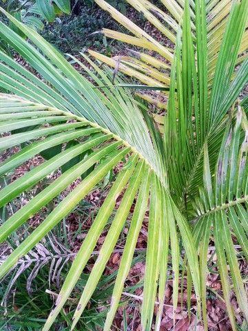 Muda de palmeira - Foto 2