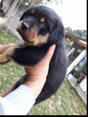 CanilCitypet filhotinhos de Rottweiler porte sem igual  - Foto 2