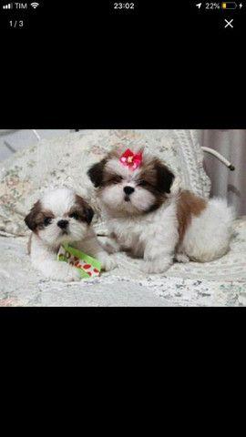 Encantadores Filhotes de Shih tzu !!