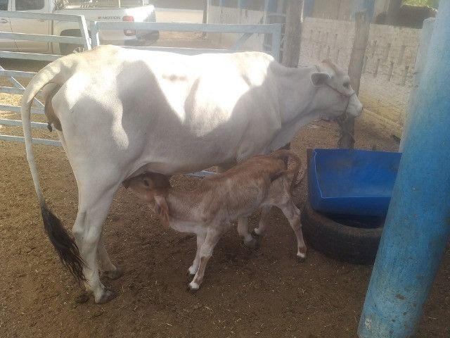 Vendo 3 vacas paridas com 3 bezerros ao pé prontas para tirar leite
